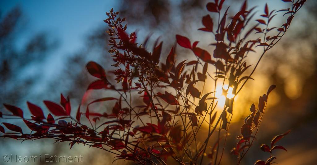 Sunrise Through Berry Bush