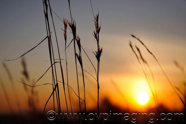 Wild grasses at sunset