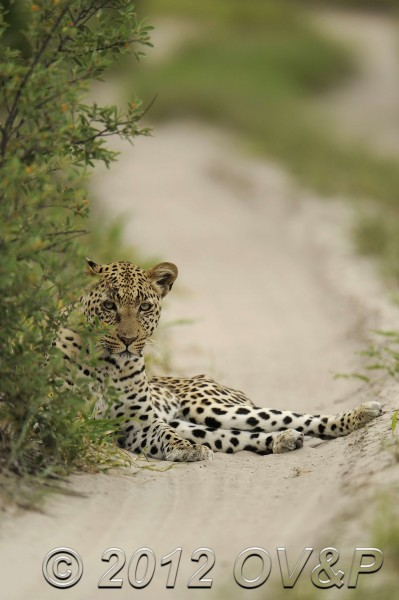 Leopard on a road