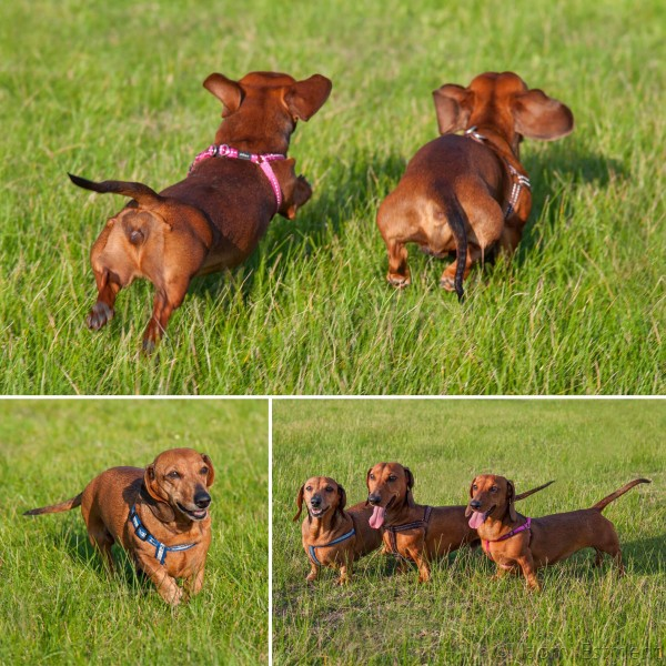 A family of Dachshunds photographed by Naomi Estment of OV&P