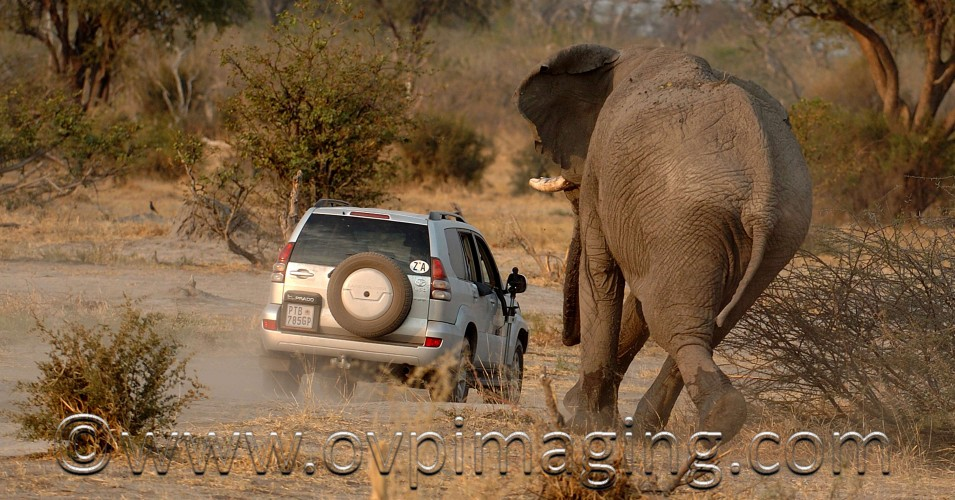 Elephant charging car