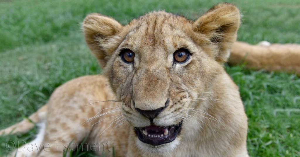 Lion Cub, photographed by Dave Estment