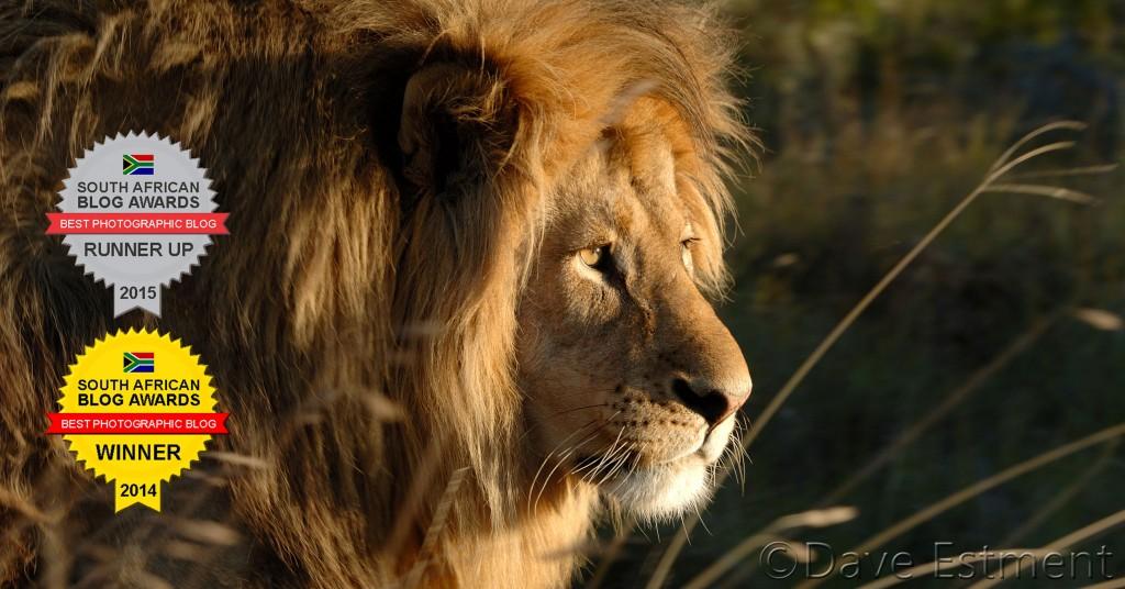Male Lion with Massive Mane