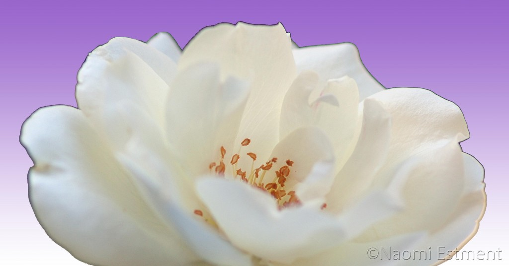 White Rose with Purple Background
