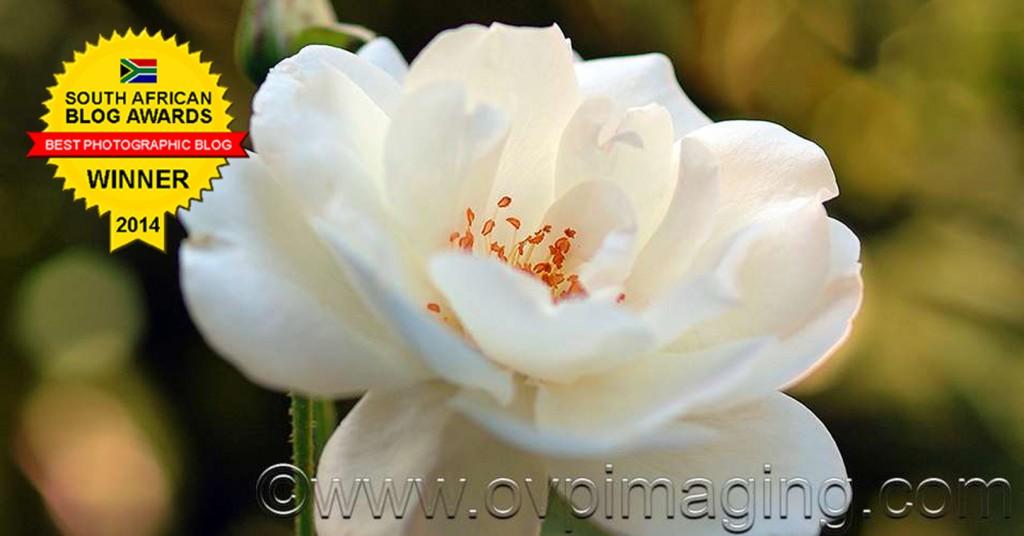 White Rose Close Up