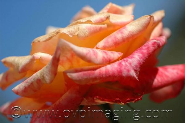 Rose against sky background